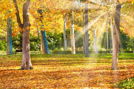 Autumn park with yellow chestnut trees at bright sunny day