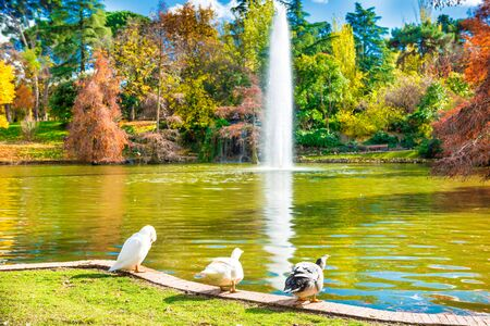 Ducks and swans sitting near lake with fountain and old bald cypress trees