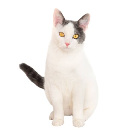 White young cat with black tail sit on isolated on white background