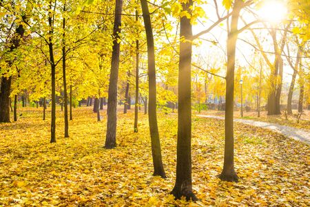 Yellow maple trees in city park with fallen leaves at bright autumn day