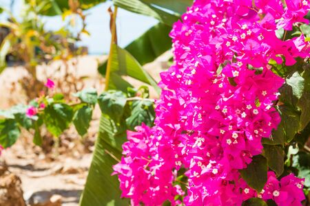 Closeup view of branch of bougainvillea with beautiful pink flowers in green tropical garden Standard-Bild - 134853814
