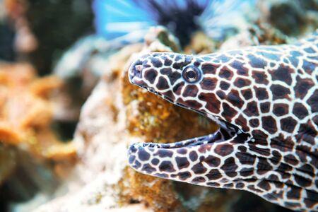 Poisson de murène lacé au récif de corail comme fond de vie marine sous-marine de nature Banque d'images