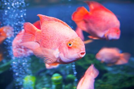 Tropical red fishes in aquarium as nature underwater sea life background Stock Photo