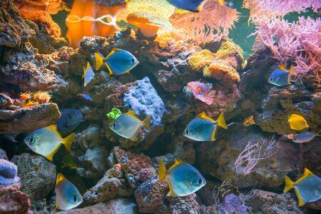 Tropical blue fishes in aquarium as nature underwater sea life background