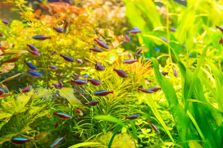 Tropical fishes with green underwater plants as nature sea life background 版權商用圖片
