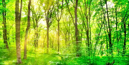 Panorama of green forest landscape with trees and sun light going through leaves Stock fotó
