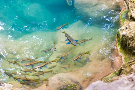 School of tropical red garra fishes in river water in Erawan National park, Thailand