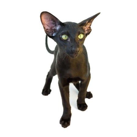 Black purebred oriental cat little kitten isolated on white background