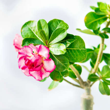 Pink flower Adenium Obesum plant with green leaves isolated on white background 版權商用圖片 - 155743030