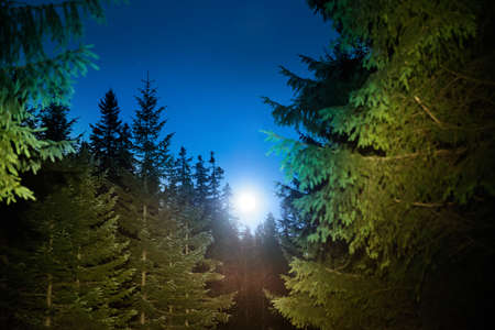 Forest and pine trees landscape under blue dark night sky with many stars 版權商用圖片