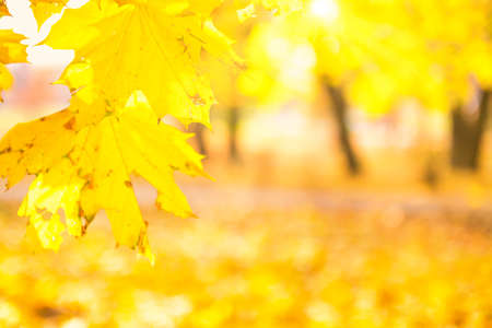 Branch with gold colored maple leaves on yellow autumn park background 版權商用圖片