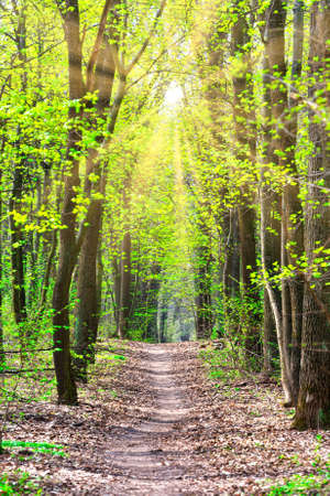 Green spring forest with first spring leaves, sun light and path through green trees Reklamní fotografie