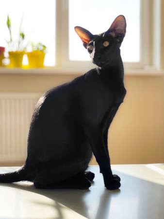 Black oriental cat sitting in light room with window