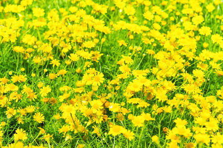Beautiful yellow flowers Dendranthema boreale on sunny green field as spring and summer nature background Reklamní fotografie