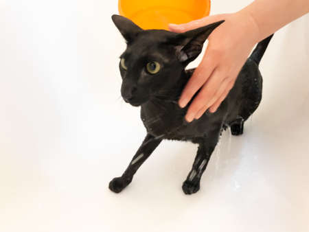 Wet black oriental cat screaming taking shower in bath