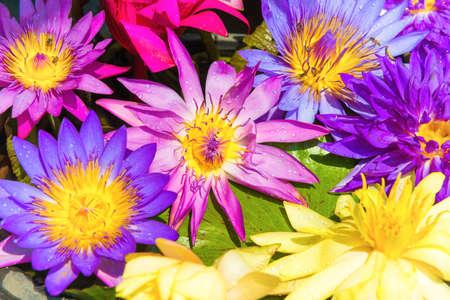 Water lotus nelumbo flowers, colorful lotus lily in water garden