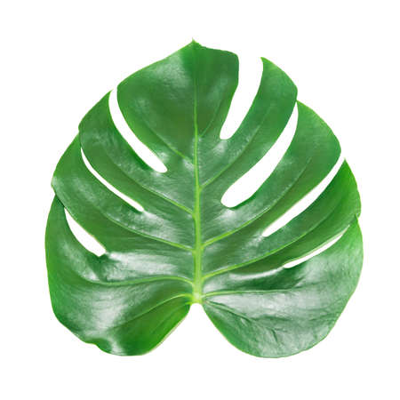 Green leaf of houseplant monstera deliciosa isolated on white background