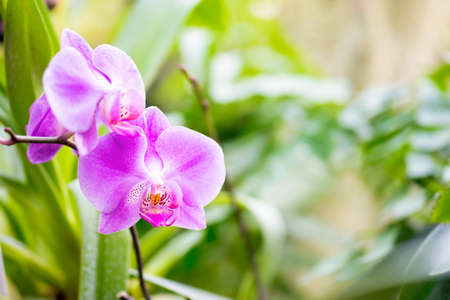 Purple orchids in a wild tropical forest. Beautiful spring flowers with soft green background Banque d'images