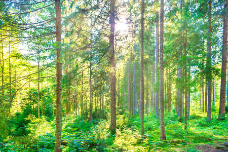 Green pine forest with shining sun rays