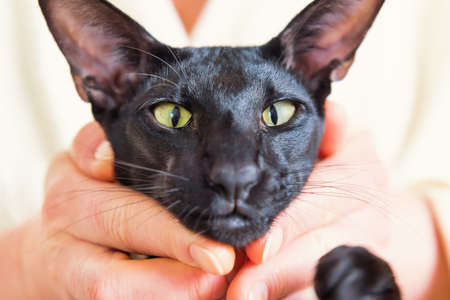 Funny black oriental cat face with green eyes in hands