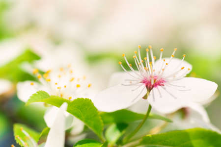 White flowers on a blossom cherry tree with soft background of green spring leaves. Macro shot