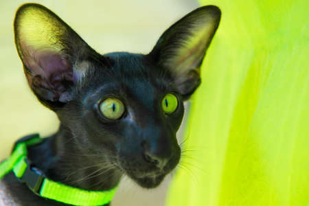 Black funny purebred oriental cat on sunny green couch Banque d'images