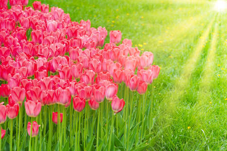 Pink flowers tulips in the green beautiful park Banque d'images