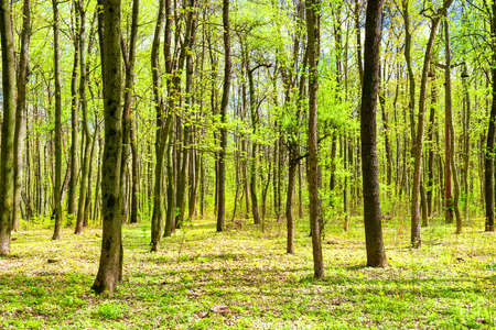 Green spring forest with young new green leaves on the trees