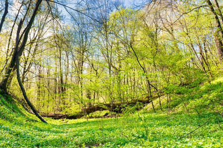 Green grass on a meadow in spring forest with new leaves on the trees