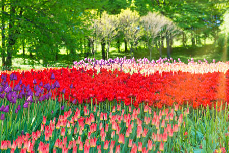 Colorful tulips garden in the green park