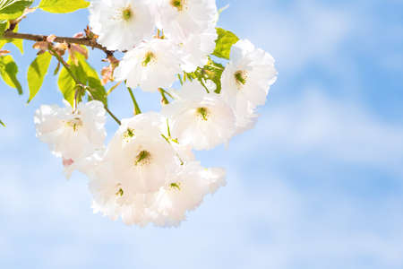 Blossom of white sakura flowers on a spring tree branch over blue sky