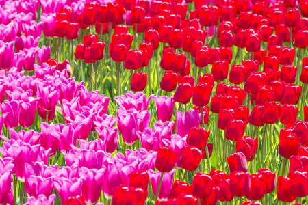 Many pink tulips flowers on the field. Floral texture