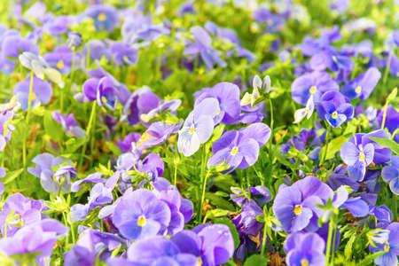 Field on violet flowers, spring flower background