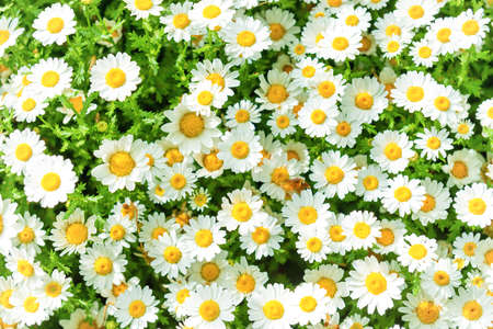 Daisy camomile flowers on field. Whte flowers background