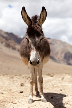 Closeup of donkey head Zanskar Valley Ladakh India.