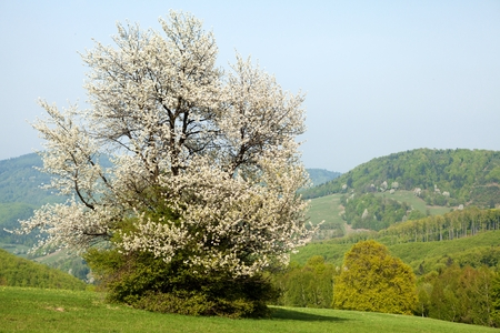 bile: Spring landscape with flowering cherry in Carpathian mountains, Horni Lide, Bile Karpaty, Czech Republic.
