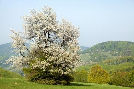 bile: Spring landscape with flowering cherry in Carpathian mountains, Horni Lidec, Bile Karpaty, Czech Republic.