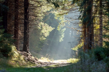 Spruce forest in the mist with sun rays in early morning, Zlate Hory Golden Mountains, Eastern Sudetes, Czech Republic.