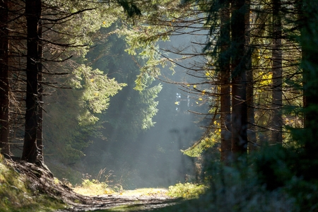 sudetes: Spruce forest in the mist with sun rays in early morning, Zlate Hory Golden Mountains, Eastern Sudetes, Czech Republic.