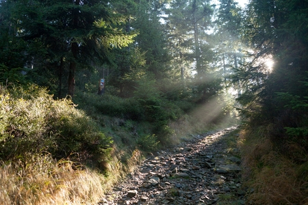 sudetes: Pathway trough spruce forest in the mist with sun rays in early morning, Zlate Hory Golden Mountains, Eastern Sudetes, Czech Republic.