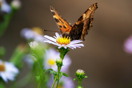 Butterfly on lilac daisy flowers Archivio Fotografico - 99289801