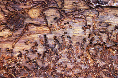 Background moves of bark beetle