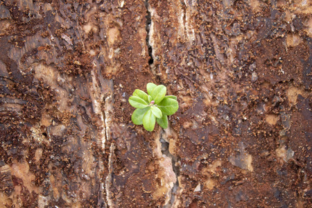 Sprout breaks through the dirty bark of a tree, top view