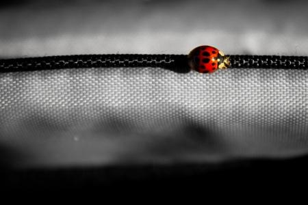 Ladybug with grey background