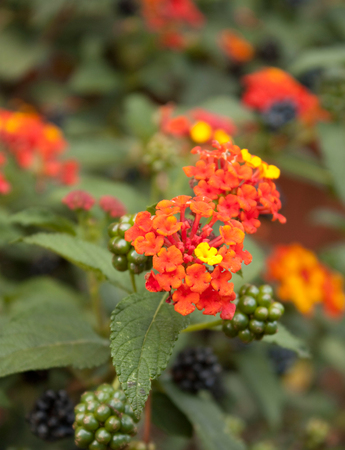 Flower Lantana camera, feature by its structure in clusters and square buttons before Bloom.