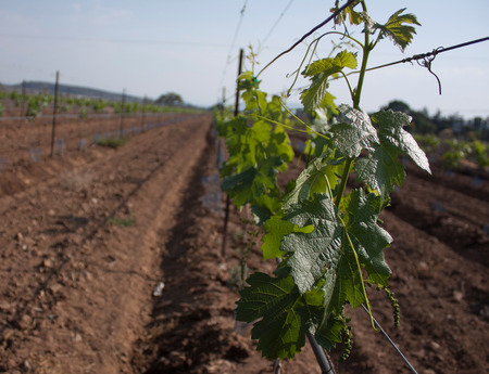 development of vineyards in the first stage of the grape near the city of Mexico 写真素材