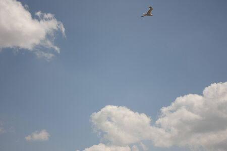 Seagull flying with blue sky background in Mexico biodiversity