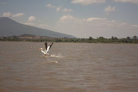 Pelican in watering on the lake of Mexico biodiversity hunting to eat