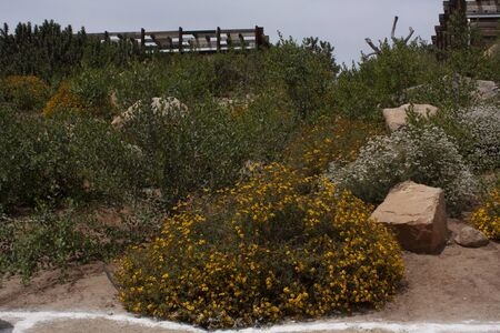 Lots of natural flowers for decoration of yellow and white in semiarid environment of Ensenada Baja California