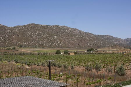Vine plantation next to the olive trees among the mountains of Ensenada Baja Californoa Mexico